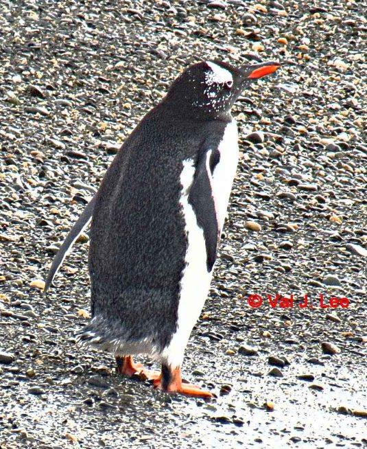 Gentoo Penguin © Val J. Lee